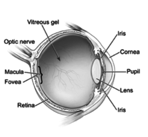 eye lens structure
